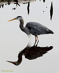 Great_Blue_Heron_2.jpg