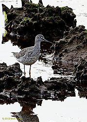 Greater_Yellowlegs.jpg
