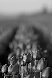 Tulip_a_mono.jpg