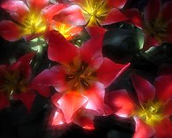Tulipillumination.jpg