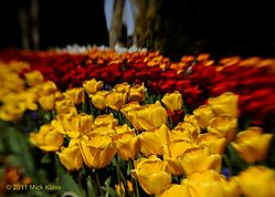 Tulips_of_Color.jpg