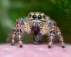 Jumping_Spider_Thornton_Co_3JG1613-2.JPG