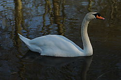 Oxford_Swan_full_size.JPG