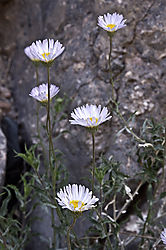 daisies_in_Titus_Canyon-6_1.jpg