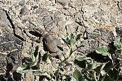 lizard_in_Titus_Canyon-6_1.jpg