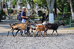 AJE-20110503-084623-0161-_Guatemala_Dogs_in_Antiqua.jpg