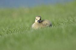 Baby_Goose_Sun-Bathing1.JPG