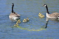Canadian_Goose_Family_11.JPG