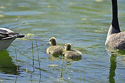 Canadian_Goose_Family_4.JPG