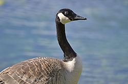 Goose_Posing_3.JPG