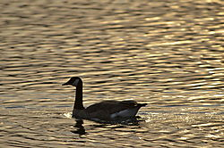 Goose_at_Sunset.JPG
