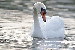 Swan11.JPG