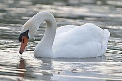 Swan32.JPG