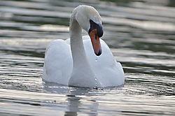 Swan71.JPG