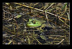 Bullfrog_a.jpg