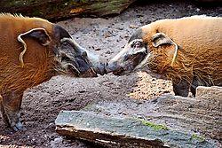 Pinselohrschweine.jpg