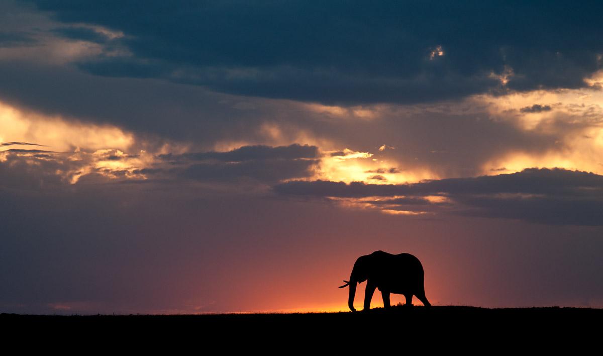 Elephant_at_Sunset