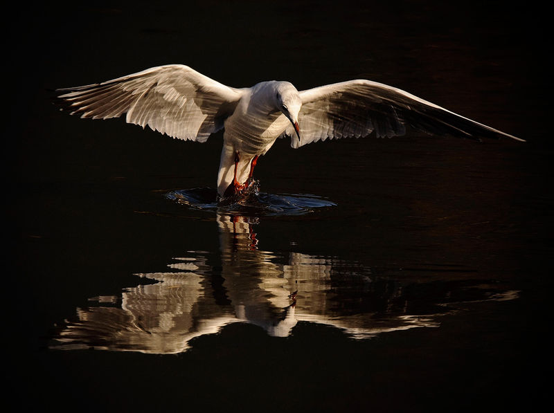 A low key photograph of a Black Headed Gull and its reflection.