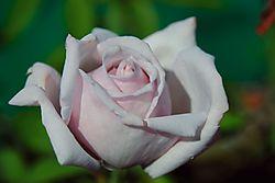 White_Rose_USNS_Button_HDR_Nikon_Contest_1200_pixels_web.jpg