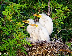 Egret_chicks.jpg
