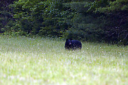 Black_Bear2.JPG