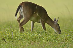 Deer_Grazing.JPG