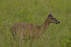 Deer_Walking.JPG