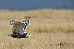 Owl_Flight.jpg