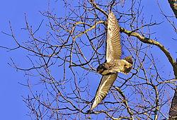 Great_Horned_Owl-9j4.jpg