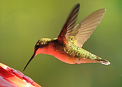 Hummingbird_2011-09-17c.jpg