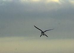 Gulls_DSC3625.jpg