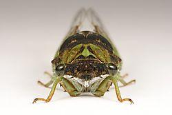 Cicada_20130812_001.JPG