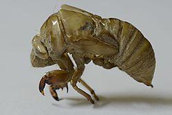Cicada_Shell_DSC5307.JPG