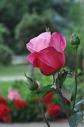 The_Rose1.jpg