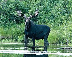 DSC_0665_Moose_at_Cunliffe_Lake.jpg