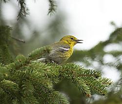DSC_6711_Yellow_Warbler_Singing.jpg