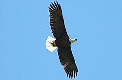 Eagle_Lunch.jpg
