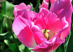 Bee_flower_tulip_farm_BC.jpg