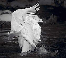 Swan_Song_-_Version_2.jpg