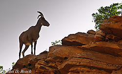Moutain_Goat-0444.JPG
