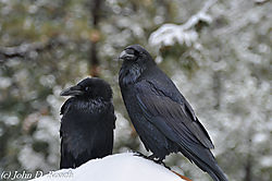 Ravens_in_the_Snow_at_Bryce_Canyon-9470.JPG