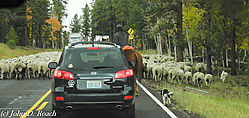 Sheepherding_along_the_Road_To_Bryce-0557.JPG