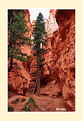 Navajo-Trail-Pine.jpg