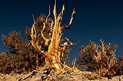 Bristlecone_Pine-5110.jpg