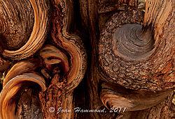 Bristlecone_Pine_Detail-5100.jpg