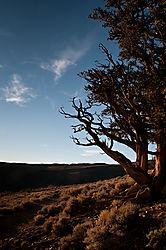 Bristlecone_Pine_Forest-5.jpg