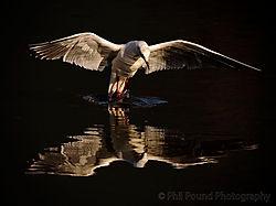 Black_Headed_Gull1.jpg