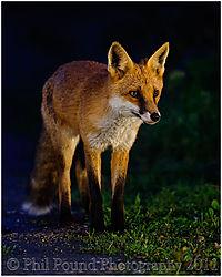 Fox_4213_copy.jpg
