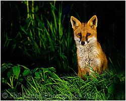 Fox_4247.jpg