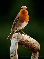 Friendly_Robin.jpg